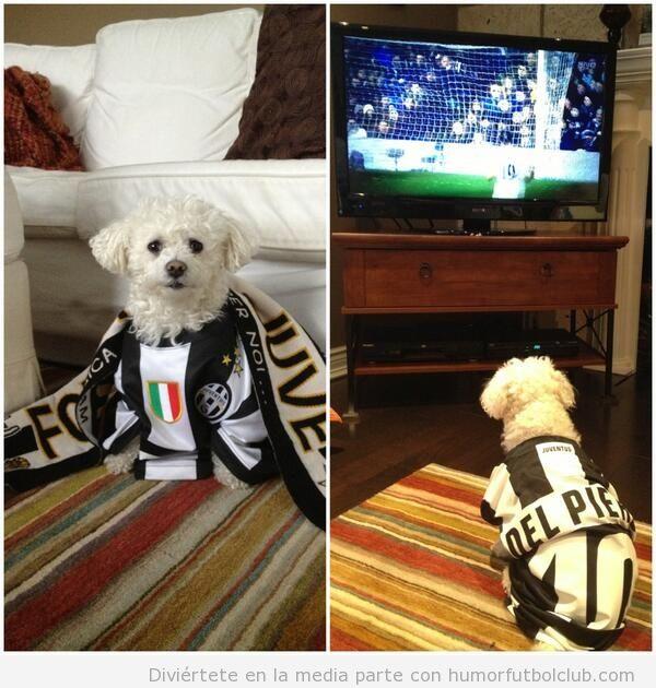 Perro aficionado a la Juve, con camiseta y bufanda