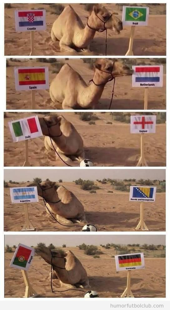 Foto graciosa de un camello que predice los resultados del Mundial Brasil